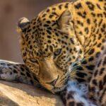 Tablou Leopard - animale salbatice